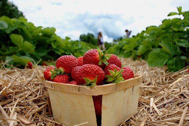 स्ट्रॉबेरी ताजा कैसे रखें
